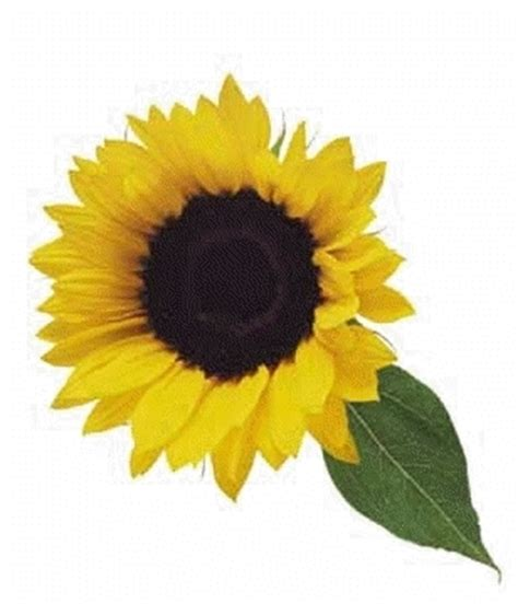 il significato dei fiori girasole significato girasole 3 significato dei fiori