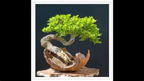 bonsai the beginner s guide to cultivate grow shape and show your bonsai includes history styles of bonsai types of bonsai trees trimming wiring repotting and watering books how to grow bonsai tree bonsai for beginners