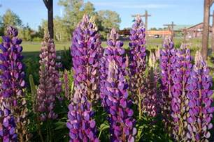 lupine color lupine flowers tips for growing lupines