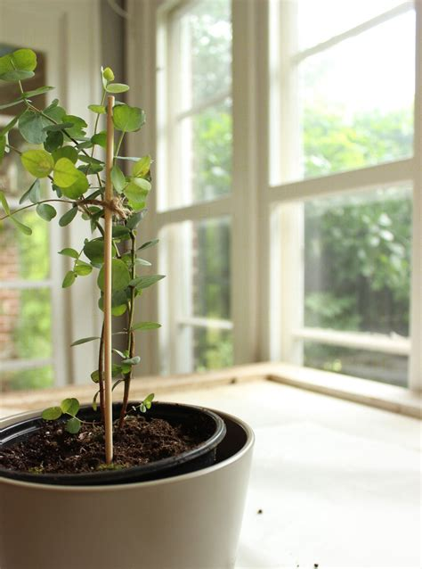 potting  eucalyptus houseplant tips  reduce