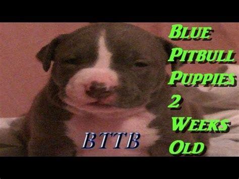 2 week pitbull puppies e zeekeyo the pitbull blue pitbull puppies 2 weeks