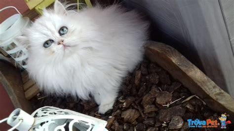 gatti persiani roma splendidi cuccioli persiano chinchilla in vendita a roma rm