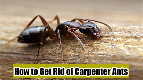 how to get rid of carpenter ants in bathroom how to get rid of carpenter ants 7 methods to kill