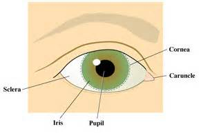 what part of the eye is colored exitcare image