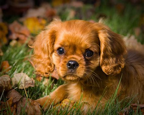 st charles cavalier puppy st charles spaniel puppies for sale goldenacresdogs