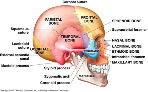 Skull Lateral View Diagram diagram skull diagram unlabeled