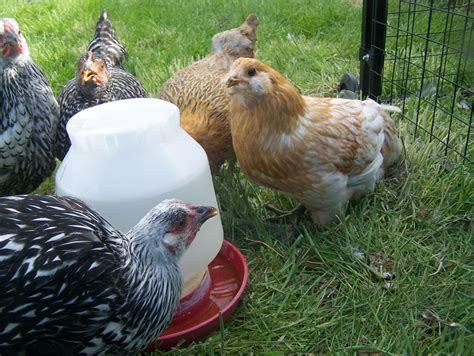do chickens need a heat l the importance of water for your flock the scoop from