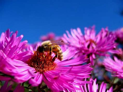 Rich Pink Aster Flowers Image Jpg Aster Flower Gallery
