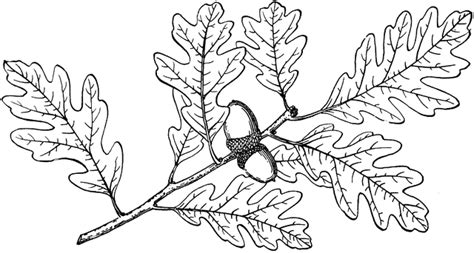 branch of gambel oak clipart etc