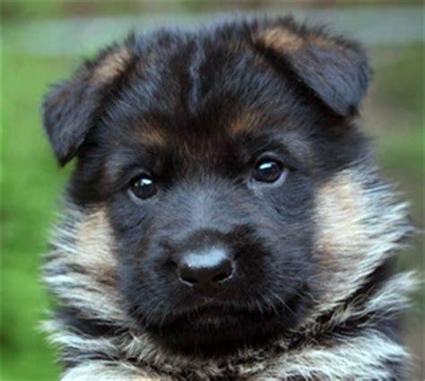 average cost of german shepherd puppy den oher tannen german shepherd breeder