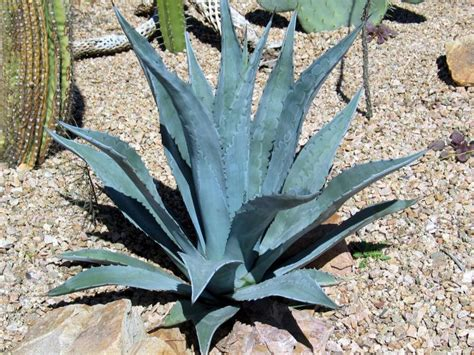 agave americana century plant blue agave american aloe maguey