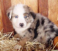 corgi puppies for sale spokane 1000 images about puppies on australian cattle puppys and beagles