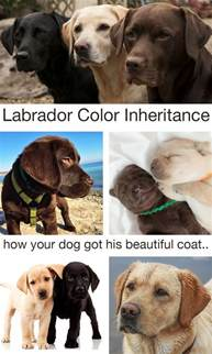 labrador colors labrador color inheritance with new puppy color charts