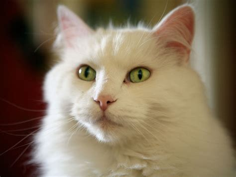 the white cat and white cat green eyes wallpaper 1600x1200 14556
