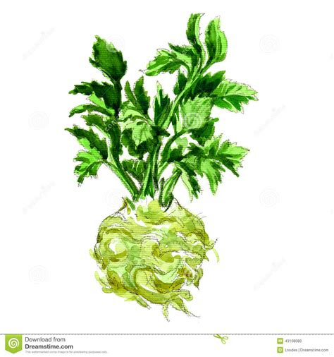 watercolor celery isolated on white stock illustration