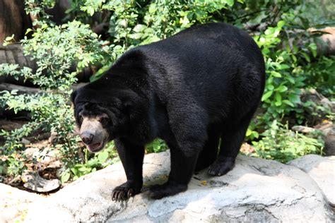 file sun helarctos malayanus in dusit zoo bangkok