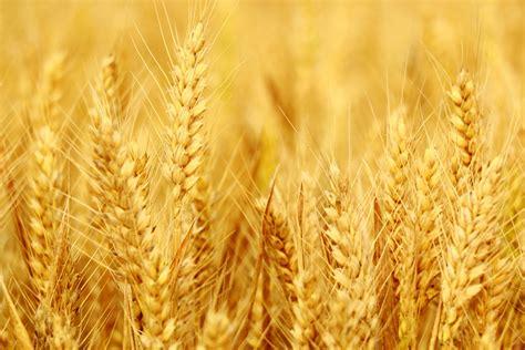 lectine negli alimenti lectine negli alimenti allergie e sistema immunitario
