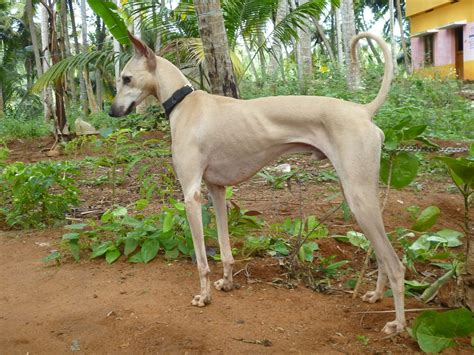 dogs india chippiparai breed the indian hound pets world