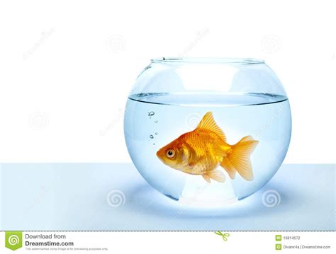 golden fish stock photo image of lonely yellow blue