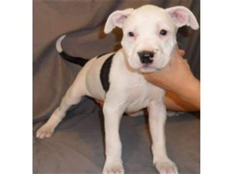 pitbull puppies nj american pit bull terrier puppies in new jersey