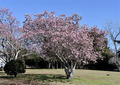 saucer magnolia blooms herald arrival of spring page 3 mississippi state university