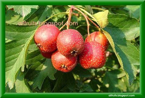 fruit with h fruits in the world fruits name starts with the letter quot h