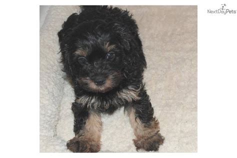 cavalier havanese havanese dogs puppies names breeds and grooming breeds picture