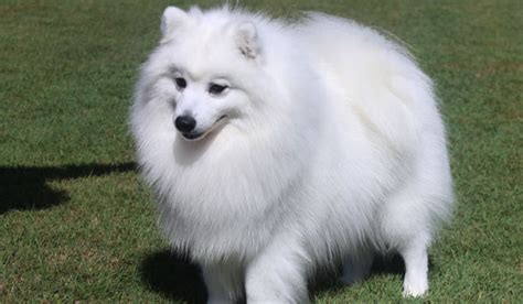 japanese spitz japanese spitz history personality appearance health and pictures