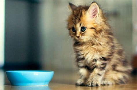 alimenti gatti alimenti vietati ai gatti quali sono i cibi velenosi per