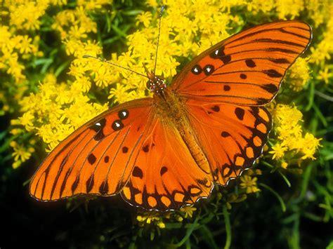 wallpaper bergerak kupu kupu kupu kupu cantik animal planet