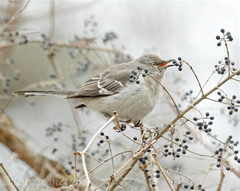 northern mockingbird eating berry laura meyers photography