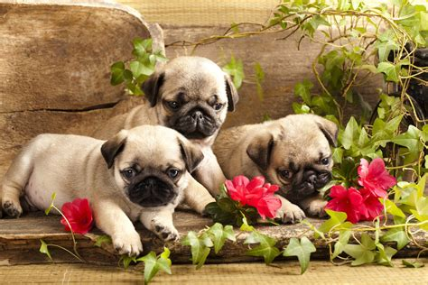 puppies and flowers pin pugs puppies and flowers on