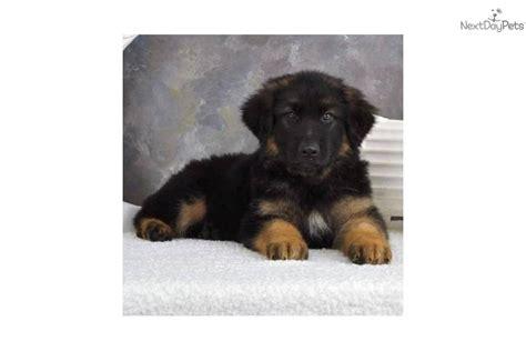 plush coat german shepherd puppies for sale meet teddy a german shepherd puppy for sale for 695 akc plush coat