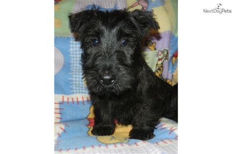 scottish terrier puppies for sale near me scottish terrier puppy for sale near los angeles california 8f991871 9f21