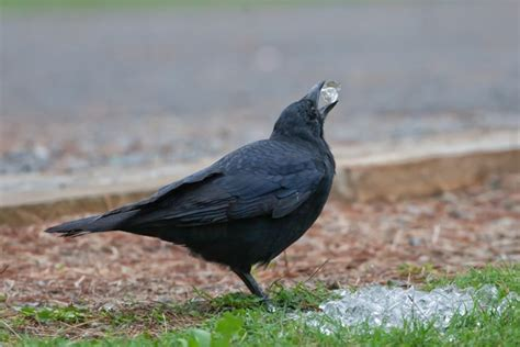 what do crows eat crows diet