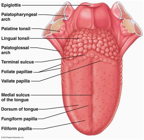 sections of the tongue human anatomy a diagram of the tongue anatomy tongue