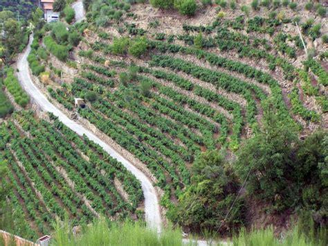 terrazzamenti in collina vini maixei i vigneti e le uve della liguria di ponente