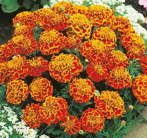 Benih Bunga Marigold T1310 benih marigold honeycomb 6 biji non retail bibitbunga