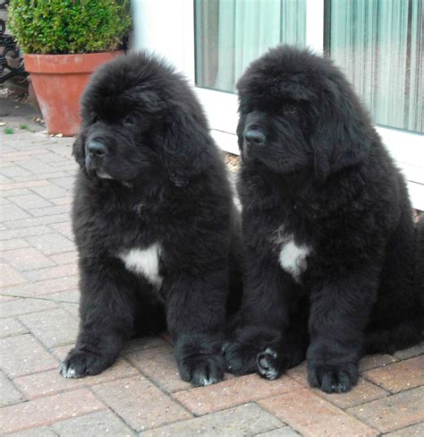 newfie puppies newfoundland puppies homepage