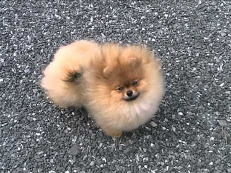 pomeranian 5 months beautiful pictures of dogs breed pomeranian funnydog tv