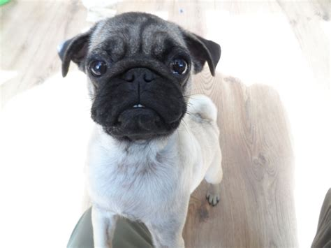 5 month pug this is dizzy the 5 month pug and beagle puggle mixed breeds picture