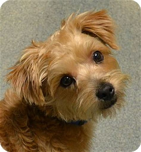 yorkie terrier poodle mix adopted puppy 800carter independence mo poodle miniature yorkie