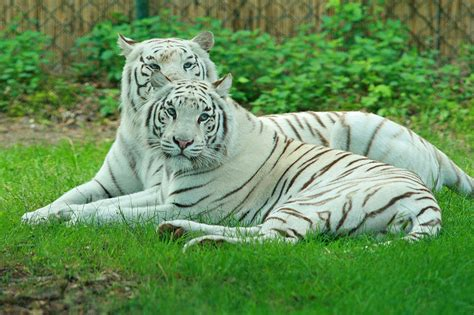 facts about the new year tiger picture 7 of 9 white tiger panthera tigris tigris