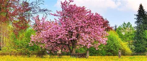 imagenes cerezo japones el mundo m 225 gico de las plantas el cerezo mundonatura