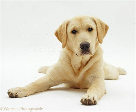 golden retriever x labrador labrador x golden retriever pup photo wp19000