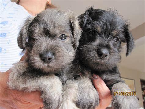 bridge puppies home puppies on the bridge 129 vellore ave woodbridge on ca l4h2w4