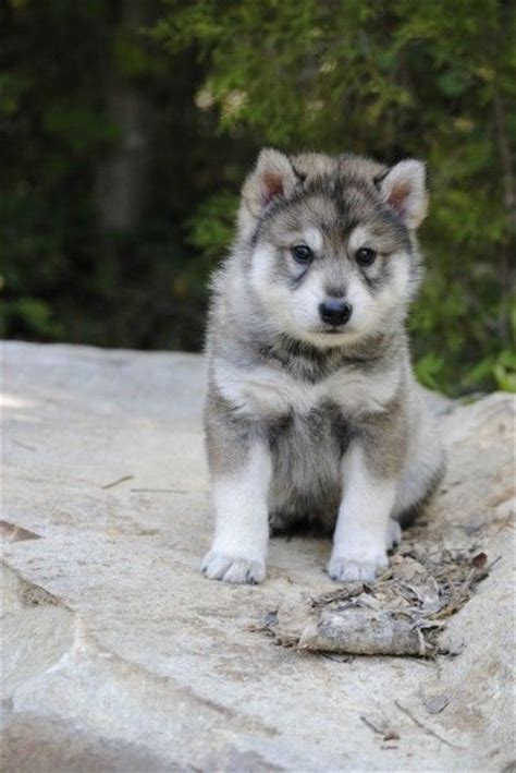 utonagan puppies for sale usa 25 best ideas about tamaskan on husky cross breeds wolf dogs and