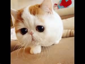 descargar imagenes de monos negros los bonitos el gato ex 243 tico de pelo corto para ni 241 os bonitos y