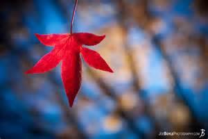 Kauai Flowers - buy quot red fall autumn leaf quot photo print options