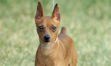 miniature pinscher puppies for sale miniature pinscher puppies for sale 27 high resolution wallpaper dogbreedswallpapers
